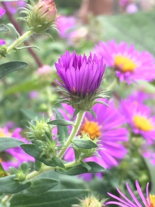 Symphyotrichum novae-angliae (New England Aster) close-up fo flowers and buds.