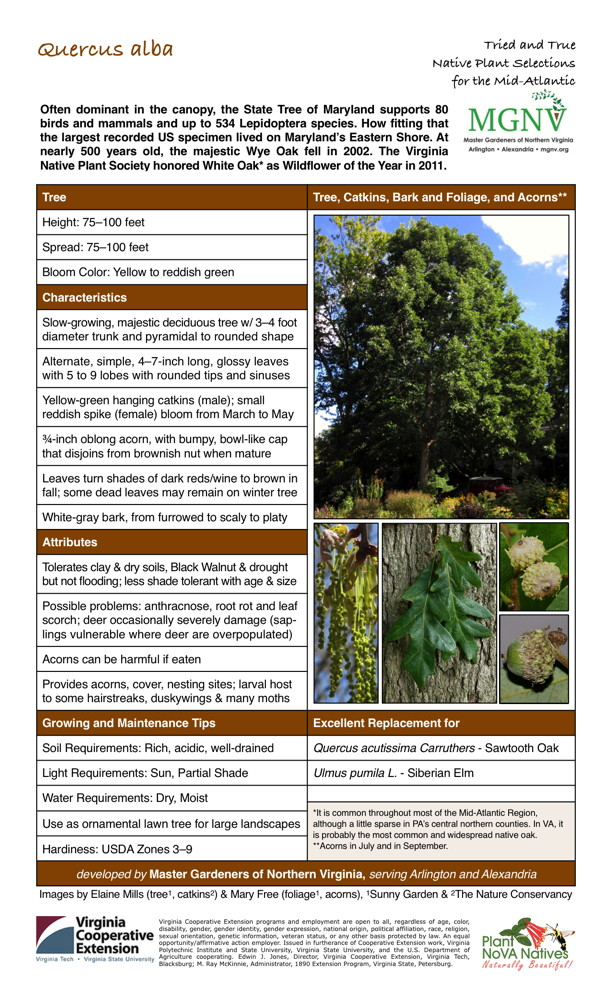 Slow-growing, majestic deciduous tree w/ 3-4 footdiameter trunk and pyramidal to rounded shape,Alternate, simple, 4-7-inch long, glossy leaveswith 5 to 9 lobes with rounded tips and sinuses,Yellow-green hanging catkins (male); smallreddish spike (female) bloom from March to May,3/4-inch oblong acorn, with bumpy, bowl-like capthat disjoins from brownish nut when mature,Leaves turn shades of dark reds/wine to brown infall; some dead leaves may remain on winter tree,White-gray bark, from furrowed to scaly to platy,Tolerates clay & dry soils, Black Walnut & drought but not flooding; less shade tolerant with age & size,Possible problems: anthracnose, root rot and leafscorch; deer occasionally severely damage (saplingsvulnerable where deer are overpopulated),Acorns can be harmful if eaten,Provides acorns, cover, nesting sites; larval hostto some hairstreaks, duskywings & many moths,Rich, acidic, well-drained Quercus acutissima Carruthers - Sawtooth Oak, sun, Partial Shade Ulmus pumila L. - Siberian Elm,Dry, Moist,Use as ornamental lawn tree for large landscapes *It is common throughout most of the Mid-Atlantic Region,although a little sparse in PA's central northern counties.Hardiness: USDA Zones 3-9 is probably the most common and widespread native oak.