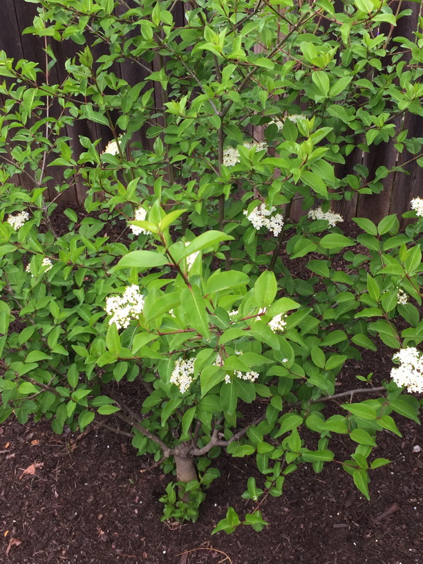 The lovely flowers of the a Viburnum prunifolium (Black Haw) shrub. Photo © 2017 Elaine Mills