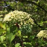 Viburnum prunifolium (Black Haw) flower buds about to bloom in April. Photo © 2015 Elaine Mills