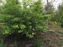 Viburnum prunifolium (Black Haw) shrub in an April landscape. Photo © 2015 Elaine Mills