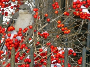 Mockingbird on (Ilex verticillata (Winterberry Holly), protecting its winter 'pantry.'