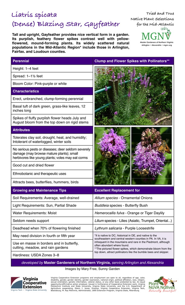 Liatris spicata, (Dense) Blazing Star, Gayfeather,   Perennial No serious pests or diseases; deer seldom severely damage (may browse mature plants); small herbivores like young plants; voles may eat corms Height: 1–4 feet Spread: 1–11⁄2 feet Bloom Color: Pink-purple or white Characteristics Erect, unbranched, clump-forming perennial Basal tuft of dark green, grass-like leaves, 12 inches long Spikes of fluffy purplish flower heads July and August bloom from the top down on rigid stems Attributes Tolerates clay soil, drought, heat, and humidity; Intolerant of waterlogged, winter soils Good cut and dried flower Ethnobotanic and therapeutic uses Attracts bees, butterflies, hummers, birdsGrowing and Maintenance Tips Soil Requirements: Average, well-drained Light Requirements: Sun, Partial Shade Water Requirements: Moist Seldom needs support Deadhead when 70% of flowering finished May need division in fourth or fifth year It is native to DC, historical in DE, and native to the southeastern and central western counties in PA. In VA, it is infrequent in the mountains and rare in the Piedmont, although often abundant where found. Use en masse in borders and in butterfly, cutting, meadow, and rain gardens Hardiness: USDA Zones 3–8 Excellent Replacement for Allium species - Ornamental Onions Buddleia species - Butterfly Bush Hemerocallis fulva - Orange or Tiger Daylily Lilium species - Lilies (Asiatic, Trumpet, Oriental...) Lythrum salicaria - Purple Loosestrife
