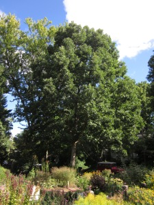 A beautiful Quercus Alba (White Oak) at the Sunny Demonstration garden. Photo © 2014Elaine Mills