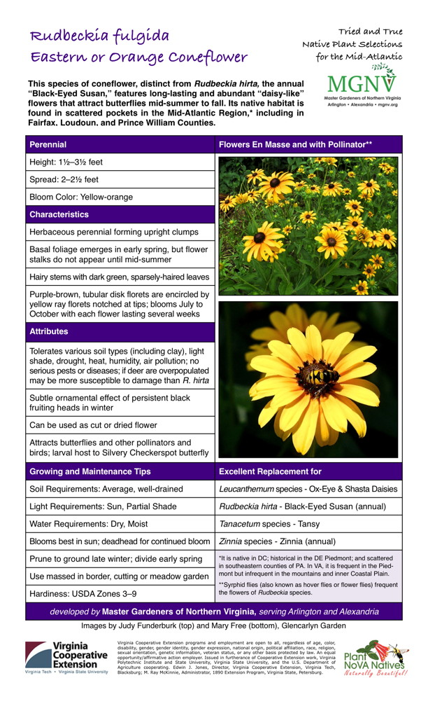 Rudbeckia fulgida Eastern or Orange Coneflower Perennial Height: 11⁄2–31⁄2 feet Spread: 2–21⁄2 feet Bloom Color: Yellow-orange Characteristics Herbaceous perennial forming upright clumps Basal foliage emerges in early spring, but flower stalks do not appear until mid-summer Hairy stems with dark green, sparsely-haired leaves Purple-brown, tubular disk florets are encircled by yellow ray florets notched at tips; blooms July to October with each flower lasting several weeks Attributes Tolerates various soil types (including clay), light shade, drought, heat, humidity, air pollution; no serious pests or diseases; if deer are overpopulated may be more susceptible to damage than R. hirta Subtle ornamental effect of persistent black fruiting heads in winter Can be used as cut or dried flower Attracts butterflies and other pollinators and birds; larval host to Silvery Checkerspot butterfly Growing and Maintenance Tips Soil Requirements: Average, well-drained Light Requirements: Sun, Partial Shade Water Requirements: Dry, Moist Blooms best in sun; deadhead for continued bloom Prune to ground late winter; divide early spring It is native in DC; historical in the DE Piedmont; and scattered in southeastern counties of PA. In VA, it is frequent in the Piedmont but infrequent in the mountains and inner Coastal Plain. Syrphid flies (also known as hover flies or flower flies) frequent the flowers of Rudbeckia species. Use massed in border, cutting or meadow garden Hardiness: USDA Zones 3–9 Excellent Replacement for Leucanthemum species - Ox-Eye & Shasta Daisies Rudbeckia hirta - Black-Eyed Susan (annual) Tanacetum species - Tansy Zinnia species - Zinnia (annual)