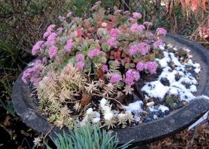 Sedum sieboldii 'Winter Daphne' shows off her fall/winter colors. Photo © Mary Free