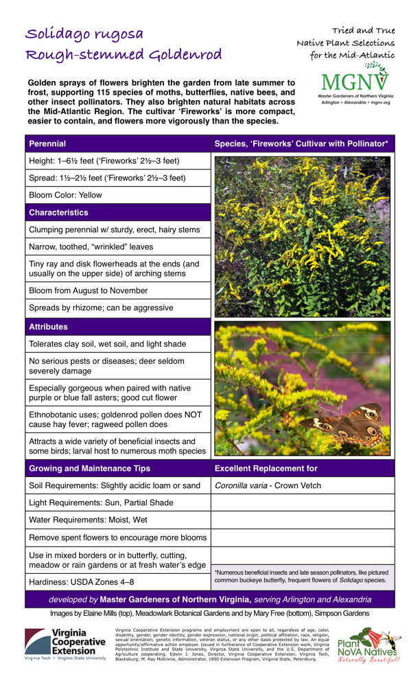 "Solidago rugosa, Rough-Stemmed Goldenrod Perennial Bloom from August to November Height: 1–61⁄2 feet ('Fireworks' 21⁄2–3 feet) Spread: 11⁄2–21⁄2 feet ('Fireworks' 21⁄2–3 feet) Bloom Color: Yellow Characteristics Clumping perennial w/ sturdy, erect, hairy stems Narrow, toothed, ""wrinkled"" leaves Tiny ray and disk flowerheads at the ends (and usually on the upper side) of arching stems Spreads by rhizome; can be aggressive Attributes Tolerates clay soil, wet soil, and light shade No serious pests or diseases; deer seldom severely damage Especially gorgeous when paired with native purple or blue fall asters; good cut flower Ethnobotanic uses; goldenrod pollen does NOT cause hay fever; ragweed pollen does Attracts a wide variety of beneficial insects and some birds; larval host to numerous moth speciesGrowing and Maintenance Tips Soil Requirements: Slightly acidic loam or sand Light Requirements: Sun, Partial ShadeWater Requirements: Moist, WetRemove spent flowers to encourage more bloomsUse in mixed borders or in butterfly, cutting, meadow or rain gardens or at fresh water's edge *Numerous beneficial insects and late season pollinators, like pictured common buckeye butterfly, frequent flowers of Solidago species. Hardiness: USDA Zones 4–8  Excellent Replacement for Coronilla varia - Crown Vetch"