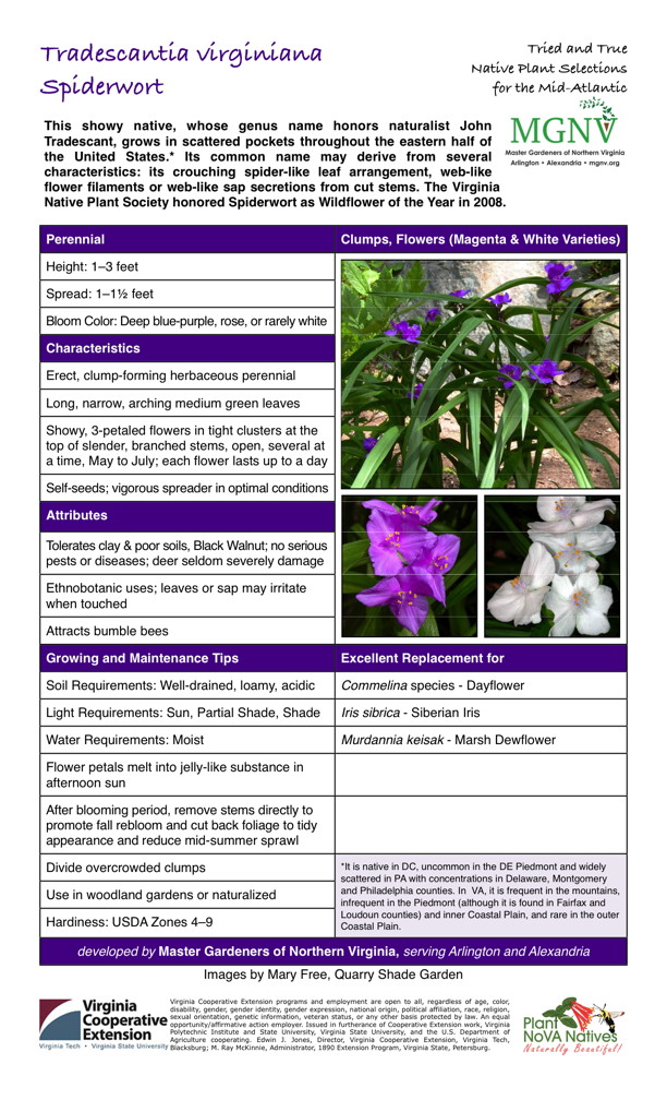 Tradescantia virginiana, Spiderwort Perennial Height: 1–3 feet Spread: 1–11⁄2 feet Bloom Color: Deep blue-purple, rose, or rarely white Characteristics Erect, clump-forming herbaceous perennial Long, narrow, arching medium green leaves Showy, 3-petaled flowers in tight clusters at the top of slender, branched stems, open, several at a time, May to July; each flower lasts up to a day Self-seeds; vigorous spreader in optimal conditions Attributes Tolerates clay & poor soils, Black Walnut; no serious pests or diseases; deer seldom severely damage Ethnobotanic uses; leaves or sap may irritate when touched Attracts bumble bees Growing and Maintenance Tips Excellent Replacement for Soil Requirements: Well-drained, loamy, acidic Light Requirements: Sun, Partial Shade, Shade Water Requirements: Moist Flower petals melt into jelly-like substance in afternoon sun After blooming period, remove stems directly to promote fall rebloom and cut back foliage to tidy appearance and reduce mid-summer sprawl Divide overcrowded clumps *It is native in DC, uncommon in the DE Piedmont and widely scattered in PA with concentrations in Delaware, Montgomery and Philadelphia counties. In VA, it is frequent in the mountains, infrequent in the Piedmont (although it is found in Fairfax and Loudoun counties) and inner Coastal Plain, and rare in the outer Coastal Plain. Use in woodland gardens or naturalized Hardiness: USDA Zones 4–9 Excellent Replacement for Commelina species - Dayflower Iris sibrica - Siberian Iris Murdannia keisak - Marsh Dewflower