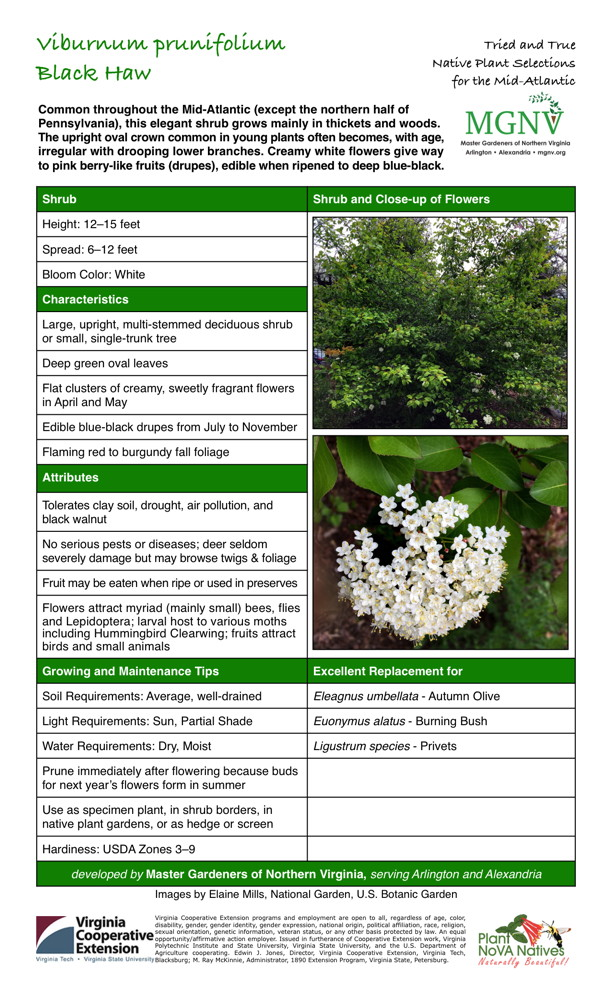 Viburnum prunifolium, Black Haw Shrub, Height: 12–15 feet, Spread: 6–12 feet, Bloom Color: White, Large, upright, multi-stemmed deciduous shrub or small, single-trunk tree, Deep green oval leaves, Flat clusters of creamy, sweetly fragrant flowers in April and May, Edible blue-black drupes from July to November, Flaming red to burgundy fall foliage, Tolerates clay soil, drought, air pollution, and black walnut, No serious pests or diseases; deer seldom severely damage but may browse twigs & foliage, Fruit may be eaten when ripe or used in preserves, Flowers attract myriad (mainly small) bees, flies and Lepidoptera; larval host to various moths including Hummingbird Clearwing; fruits attract birds and small animals, Growing and Maintenance Tips: Soil Requirements: Average, well-drained, Light Requirements: Full Sun, Partial Shade, Water Requirements: Dry, Moist, Prune immediately after flowering because buds for next year's flowers form in summer, Hardiness: USDA Zones 3–9, Excellent Replacement for Eleagnus umbellata - Autumn Olive, Euonymus alatus - Burning Bush, Ligustrum species - Privets