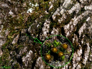 The capsules of an Orthotrichum species found on this maple bark barely rise above the upper leaves. © Mary Free
