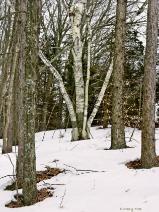 What appear to be oak and mature river birch trees, some covered in lichens and mosses, frame a white-barked birch at Fort Shantok in Montville, Connecticut. © Mary Free