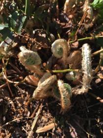 Polystichum acrostichoides (Christmas Fern) fiddlehead emerging in April. Photo by Elaine L. Mills, 2018-04-18, Glencarlyn Library Community Garden.