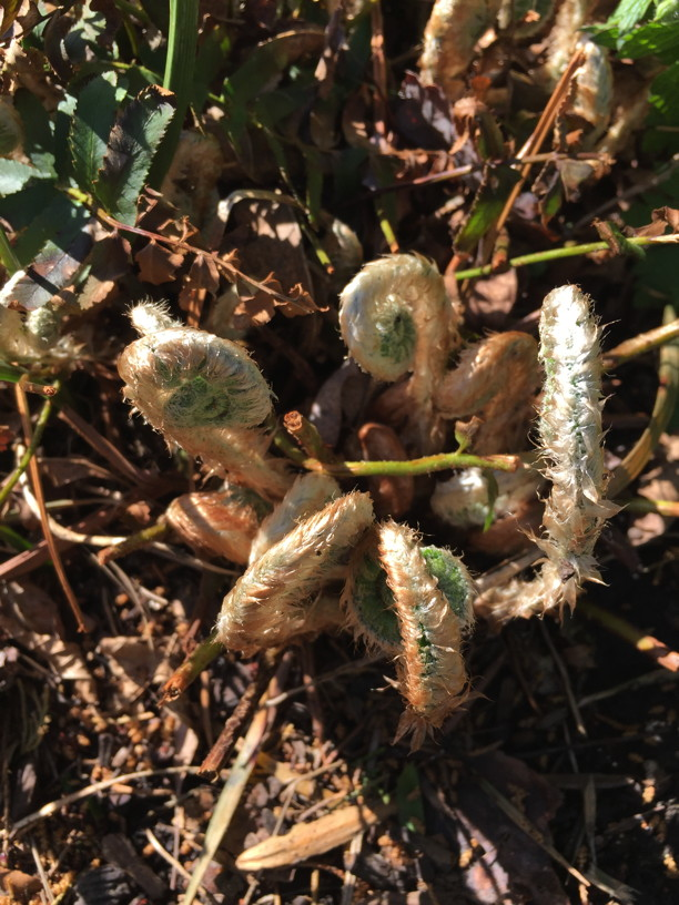 Polystichum acrostichoides (Christmas Fern) fiddlehead emerging in April. Photo by Elaine L. Mills, 2018-04-18, Glencarlyn Library Community Garden.