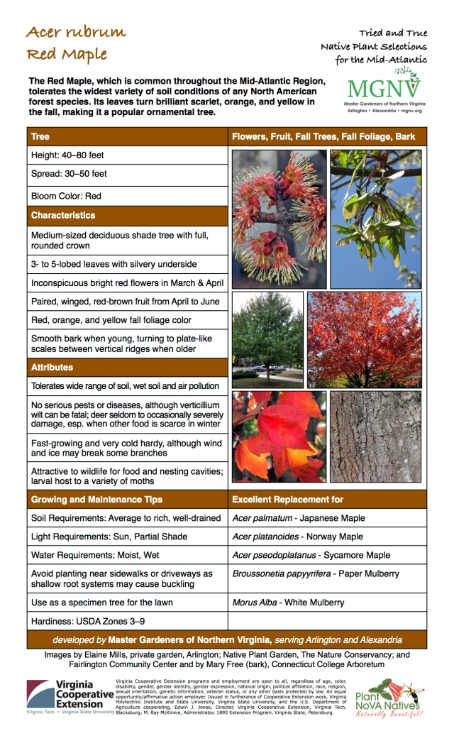 Acer rubrum, Red Maple Tree,Height: 40–80 feet, Spread: 30–50 feet, Bloom Color: Red,Medium-sized deciduous shade tree with full, rounded crown, 3- to 5-lobed leaves with silvery underside, Inconspicuous bright red flowers in March & April, Paired, winged, red-brown fruit from April to June, Red, orange, and yellow fall foliage color, Smooth bark when young, turning to plate-like scales between vertical ridges when older,Tolerates wide range of soil, wet soil and air pollution, No serious pests or diseases, although verticillium wilt can be fatal; deer seldom to occasionally severely damage, esp. when other food is scarce in winter, Fast-growing and very cold hardy, although wind and ice may break some branches, Attractive to wildlife for food and nesting cavities; larval host to a variety of moths,Soil Requirements: Average to rich, well-drained,Light Requirements: Full Sun, Partial Shade, Water Requirements: Moist, Wet,Avoid planting near sidewalks or driveways as shallow root systems may cause buckling,Hardiness: USDA Zones 3–9,Excellent Replacement forAcer palmatum - Japanese Maple,Acer platanoides - Norway Maple,Acer pseodoplatanus - Sycamore Maple,Broussonetia papyyrifera - Paper Mulberry,Morus Alba - White Mulberry