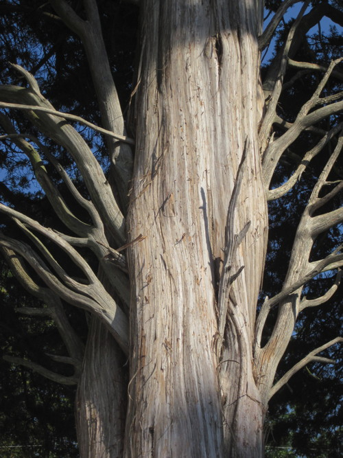 Gray exfoliating bark of Juniperus virginiana (eastern redcedar) is attractive year round. Photo © 2014 Elaine Mills