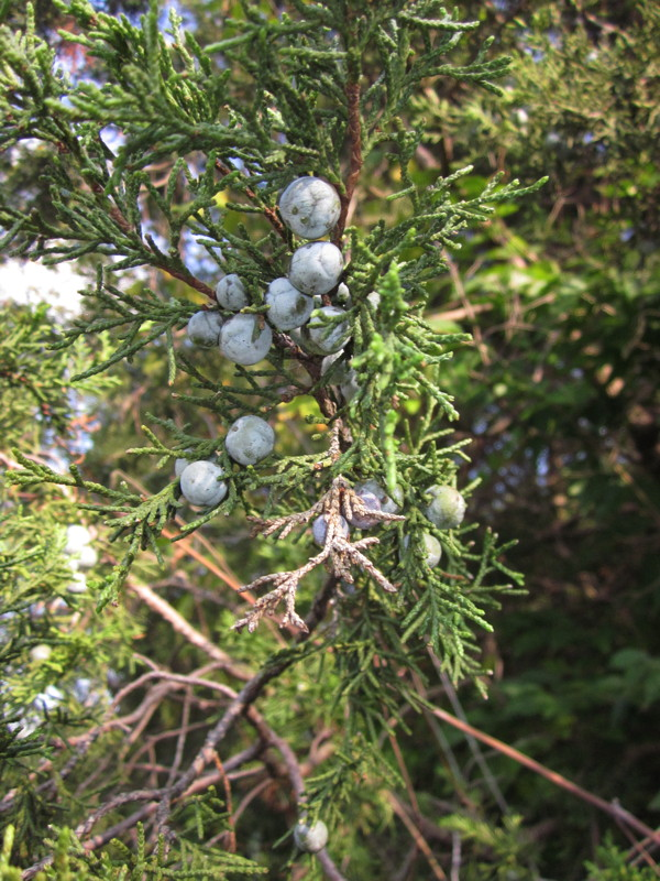 Juniperus virginiana (Eastern Redcedar) fruit in September. Photo by Elaine L. Mills, 2014-09-30, Glencarlyn Library Community Garden.