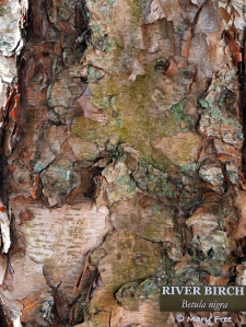 Close-up of the lichen-dotted bark of a Betula nigra (river birch, red birch) tree in New London, Connecticut.   © 2019 Mary Free