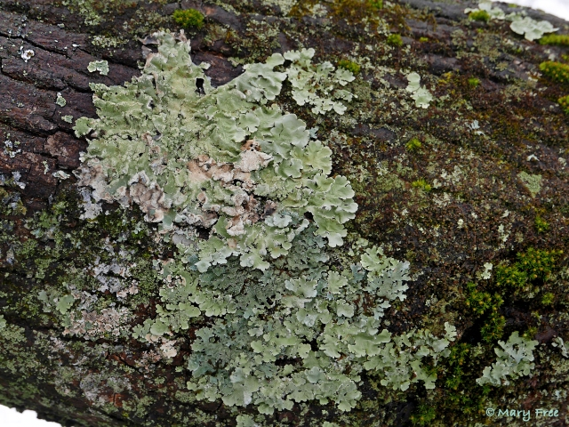 Foliose lichens on maple bark begin to brighten and soften after a snow melt. Mosses, such as an Orthotrichum species, also grow there. © 2019 Mary Free