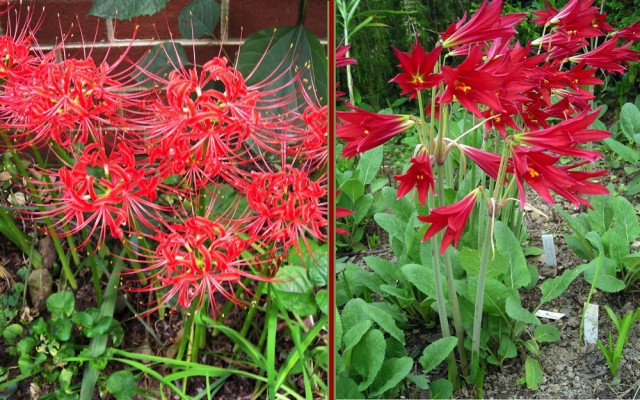 In spring, you can plant late-flowering, winter hardy bulbs like the pictured Lycoris radiata (spider lily) and Rhodophiala bifida (oxblood lily). They will add drama to the garden around Labor Day. Crocosmia 'Lucifer' (montbretia)–not pictured–is a spring-planted corm with red blooms around Independence Day. Photo © 2019 Christa Watters