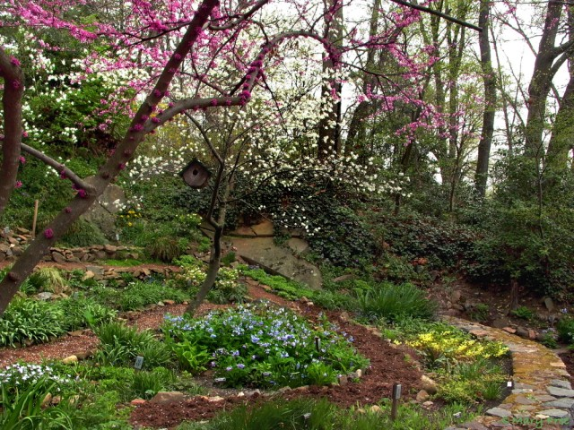 Under the white flowers of Amalenchier arborea and the fuchsia flowers of Cercis canadensis, Mertensia virginica commands center stage in the April Quarry Shade Garden. The Virginia bluebells are surrounded by white starflowers, snowdrops, and hellebores and blue lungworts and grape hyacinths. Photo © 2019 Mary Free