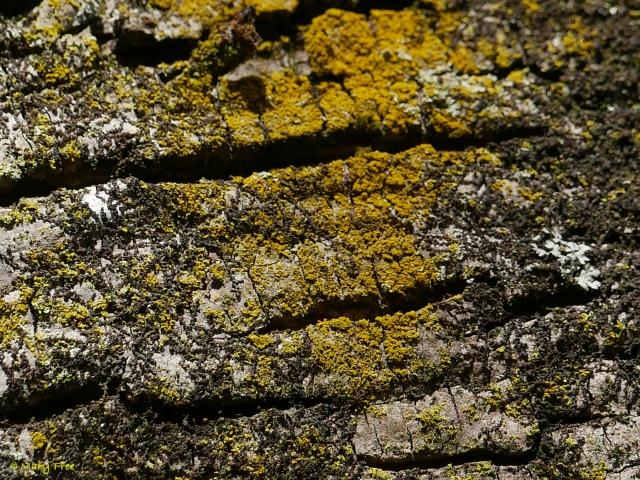 Foliose lichen, Candelaria concolor (candleflame lichen), can be mistaken for crustose lichen without a magnifying lens to see its lobes and short rhizines (root-like structures) underneath. © 2019 Mary Free