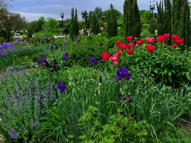 In mid-May, blue and purple bearded irises encircle red and soon-to-bloom white peonies in the U.S. Botanic Garden's demonstration garden in Bartholdi Park, Washington, D.C. Photo © 2019 Mary Free
