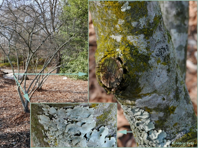 A variety of crustose and foliose lichens colonize the trunk and branches of a declining Amelanchier arborea in the Sunny Garden. In this case, their presence is symptomatic of an unhealthy tree. Photo © 2019 Mary Free
