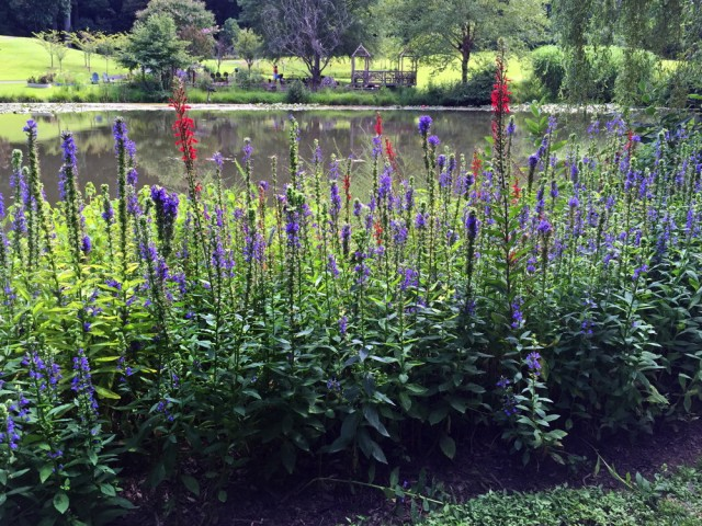 Two days after Labor Day 2015, native Lobelia cardinalis (cardinal flower) flower spikes provided a splash of brilliant color among the impressive display of native Lobelia siphilitica (great blue lobelia) lining the shore of Lake Lena at Meadowlark Botanical Gardens, in Vienna, Virginia. For late-summer white flowers (not pictured), consider natives Boltonia asteroides (false aster), Chelone glabra (white turtlehead), Eupatorium hyssopifolium (hyssop-leaf thoroughwort), and Eurybia divaricata (white wood aster). Photo © 2019 Elaine Mills