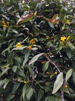 Gelsemium sempervirens (Carolina Jessamine) Photo by Elaine L. Mills, 2018-04-22, Glencarlyn Library Community Garden.