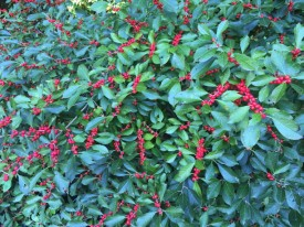 Ilex verticillata (Winterberry) 'Red Sprite' fruit in September. Photo by Elaine L. Mills, 2015-09-18, Meadowlark Botanical Gardens.