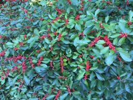 Ilex verticillata (Winterberry) 'Red Sprite' fruit in September. Photo by Elaine L. Mills, 2015-09-18, Meadowlark Botanical Gardens.