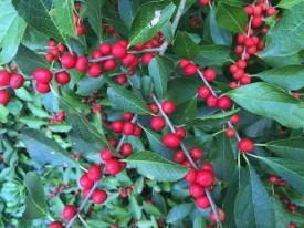 Ilex verticillata (Winterberry) 'Red Sprite' fruit detail in September. Photo by Elaine L. Mills, 2015-09-18, Meadowlark Botanical Garden.