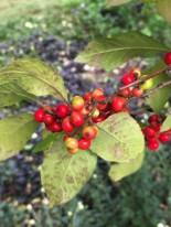 Ilex verticillata (Winterberry) 'Sparkleberry' fruit detail in October. Photo by Elaine L. Mills, 2018-10-10, Norfolk Botanical Garden.