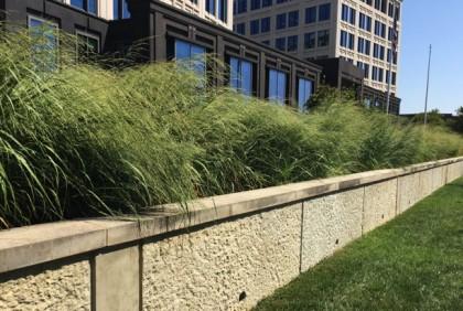 Panicum virgatum (Switch Grass) in landscape. Photo by Elaine L. Mills, 2017-08-01, Rockville, Maryland.