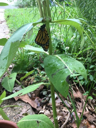 The just-emerged Monarch butterfly rests and lets it's wings stretch. Photo © Alyssa Ford Morel