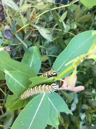 Monarch caterpillars dining together on a tasty Asclepias syriaca Photo © Alyssa Ford Morel