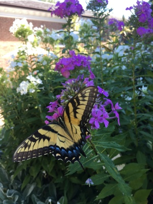 The Virginia state insect, the Swallowtail butterfly, nectaring on Phlox paniculata, garden phlox, at the Glencarlyn Library Garden. Photo © Alyssa Ford Morel