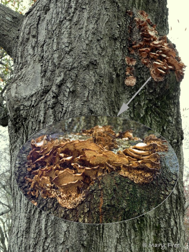 During limb removal, the pruning cut was made too close to the trunk of this (circa) 70-year-old Quercus hemisphaerica (Darlington oak), damaging the branch collar and preventing the wound from sealing. That left it vulnerable to what appear to be maze bracket mushrooms, which have spread onto the trunk. © 2019 Mary Free
