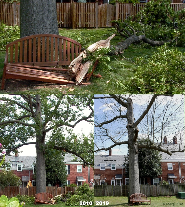 Even with the aid of professional arborists, some trees, like this oak, never recover from traumatic injury. Regular care and maintenance pruning could not reverse the gradual decline of this once thriving tree. Having lost more than a third of its main limbs, including the leader, and with the appearance of fungi indicating internal decay, it is scheduled for removal and replacement this spring. © 2019 Mary Free