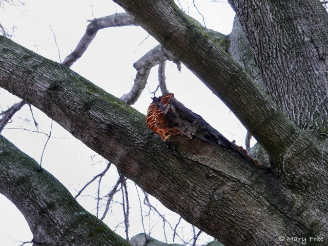 In this case, the branch stub left after pruning this Quercus phellos (willow oak) is too long, preventing the healing process and providing entry for the fungi pictured. Also there appears to be a fracture from the branch attachment into the trunk, which may have been the reason for the pruning, or a result of improper pruning. © 2019 Mary Free