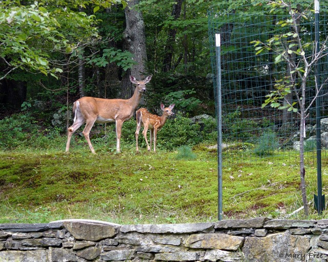 Even though this small fruit tree was surrounded by fencing to protect it from foraging white-tailed deer, it fell victim to a fawn who was able to lean under the barrier and nibble at the bark. © 2018–2019 Mary Free