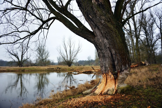 This tree will not survive the damage obviously inflicted by beavers. Photo by Peggychoucair, Pixabay