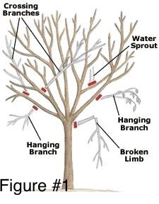 Illustration of tree needing various kinds of pruning