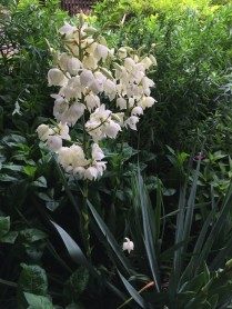 Yucca filamentosa is an example of a dramatic plant for a solo pot. Photo © Elaine Mills.