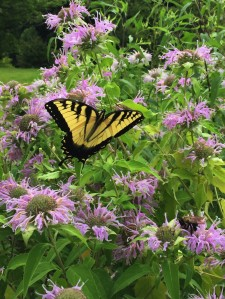 While beautiful, Lepidoptera such as this swallowtail butterfly, are not the most efficient pollinators. Photo © Elaine Mills