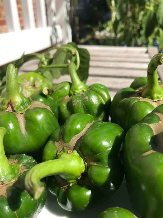 Mite damage on green peppers at the Organic Vegetable Garden. Photo © 2018 Judy Salveson