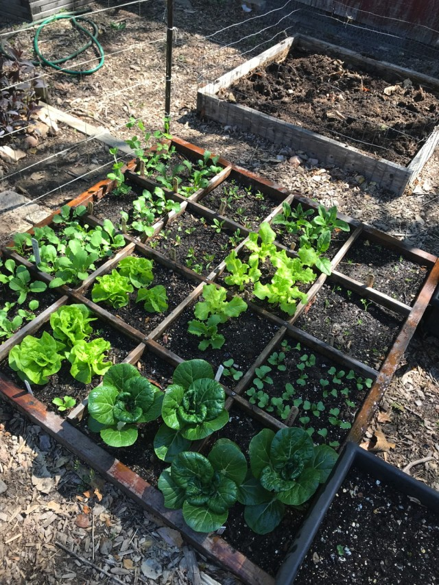 Spring crops in May 2018 at the Organic Vegetable Garden. Photo © 2018 Judy Salveson