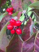 Cornus florida (Flowering Dogwood) fruit detail in October. Photo by Elaine L. Mills, 2015-09-26, Meadowlark Botanical Gardens.