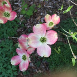 Cornus florida (Flowering Dogwood) v. rubra flowers in April. Photo by Elaine L. Mills, 2015-04-18, Native Plant Garden, The Nature Conservancy.