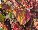 Cornus florida (Flowering Dogwood) fall foliage in shades of red to purplish. Photo © Mary Free, 2014-10-27, private garden, Arlington, VA.